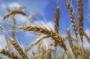 Влажность зерновых